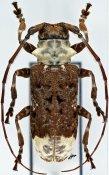 Lasiopezus longimanus, ♀, Ancylonotini, Ivory Coast