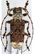 Lasiopezus longimanus, ♀, Ancylonotini, Kenya