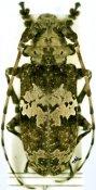 Lasiopezus brunoi, ♀, Ancylonotini, Kenya