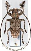 Lasiopezus nigromaculatus, ♂, Ancylonotini, Djibouti
