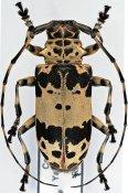 Lasiopezus sordidus josephus, ♀, Ancylonotini, Cameroon