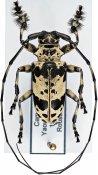 Lasiopezus sordidus josephus, ♂, Ancylonotini, Cameroon