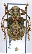 Onychocerus aculeicornis ♀, Anisocerini, Paraguay