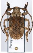 Onychocerus aculeicornis ♂, Anisocerini, Paraguay
