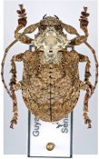 Onychocerus scorpio, ♀, Anisocerini, French Guiana