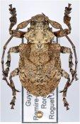 Onychocerus scorpio, ♂, Anisocerini, French Guiana