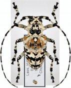 Palimnodes ducalis, ♀, Ancylonotini, Laos