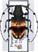Parachalastinus championi, ♂, Anisocerini, Panama