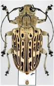 Platysternus hebraeus, ♀, Anisocerini, Peru