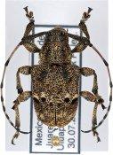 Thryallis maculosus, ♂, Anisocerini, Mexico