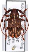 Xylotribus decorator, ♂, Anisocerini, French Guiana