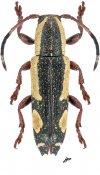 Adetus pictus, ♂, Apomecynini, Nicaragua