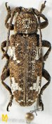 Apomecyna saltator saltator ♀, Apomecynini, Assam