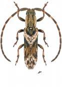 Bebelis parva, ♂, Apomecynini, French Guiana