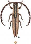 Dorcasta crassicornis, ♀, Apomecynini, Quintana Roo