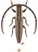 Dorcasta crassicornis, ♂, Apomecynini, Quintana Roo