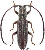 Eremon sp., ♀, Apomecynini, Gabon