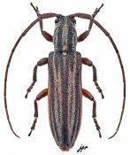 Parasybrinus fuscovittatus, ♂, Apomecynini, South Africa