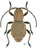 Phrynidius armatus, ♀, Apomecynini, Nicaragua