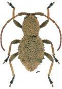 Phrynidius armatus, ♂, Apomecynini, Nicaragua