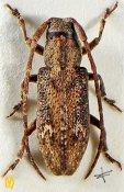 Ropica honesta ♀, Apomecynini, Assam