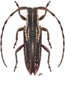 Ropicosybra spinipennis, ♀, Apomecynini, Thailand