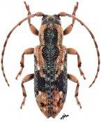 Sybra (Sybra) sp., ♀, Apomecynini, Thailand