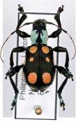 Doliops emmanueli ♀, Apomecynini, Luzon