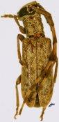 Eunidia ♂, Eunidiini, Kenya