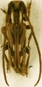Eunidia subtessalata fulgurata ♂, Eunidiini, Somalia