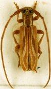 Eunidia cordifera ♂, Eunidiini, Kenya