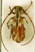 Eunidia breuningiae, ♀, Eunidiini, Djibouti