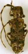 Eunidia fallaciosa fallaciosa, ♀, Eunidiini, Ethiopia