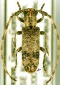 Eunidia fallaciosa fallaciosa, ♂, Eunidiini, Ethiopia