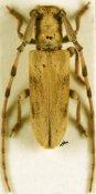Eunidia fuscomaculata ♀, Eunidiini, Kenya