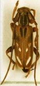 Eunidia fuscovitticollis, ♂, Eunidiini, Central Africa R.