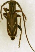 Eunidia fuscovitticollis, ♂, Eunidiini, Ivory Coast