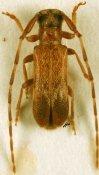 Eunidia nigrosignata ♂, Eunidiini, Kenya
