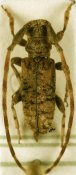 Eunidia piperita piperita, ♂, Eunidiini, Somalia