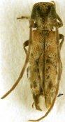 Eunidia propinqua, ♂, Eunidiini, Somalia
