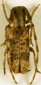 Eunidia rufolineata, ♂, Eunidiini, Kenya