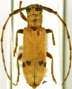Eunidia similis, ♀, Eunidiini, R. D. Congo