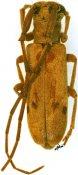 Eunidia similis, ♂, Eunidiini, R. D. Congo