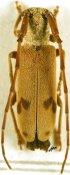 Eunidia similis, ♀, Eunidiini, Togo
