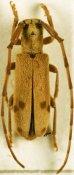 Eunidia similis, ♂, Eunidiini, Togo