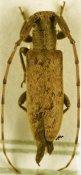 Eunidia caffra flavescens, ♀, Eunidiini, Somalia