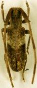 Eunidia spinicornis, ♂, Eunidiini, South Africa