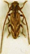 Eunidia strigata, ♂, Eunidiini, Zimbabwe