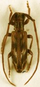 Eunidia strigata, ♂, Eunidiini, South Africa