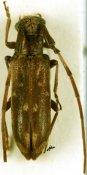 Eunidia thomseni carae, ♀, Eunidiini, South Africa
